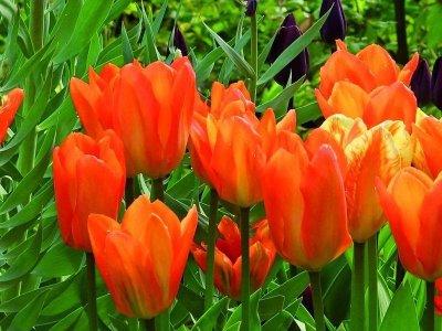 Tulipanløg
