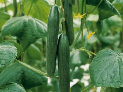 Oversigt over agurk-sorter