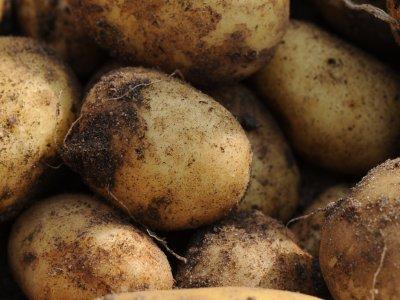 Kartoffelskimlen truer