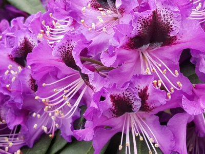 Rhododendronbedet