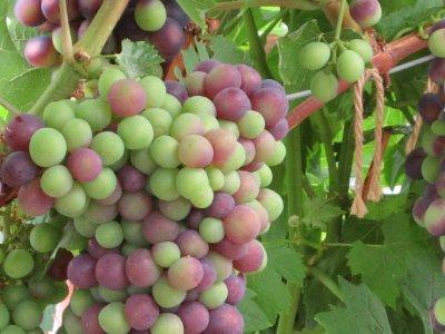 Vinplanter