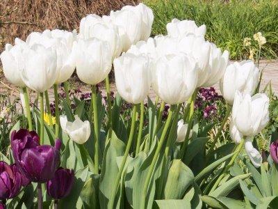 De sikre tulipaner
