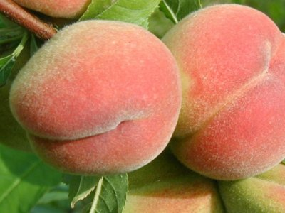 Ferskenblæresyge
