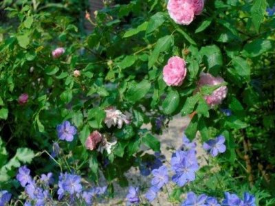 Selskabsplanter til roser