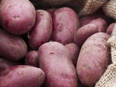 Kartoffeldyrkning i spande